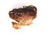 (Cancer oregonensis - CCDB13778-E01)  @13 [ ] CreativeCommons - Attribution Non-Commercial Share-Alike (2014) Kara Layton Biodiversity Institute of Ontario