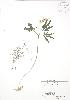 (Cardamine concatenata - RBG 021)  @11 [ ] Copyright (2009) Unspecified University of Guelph BIO Herbarium