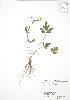 ( - RBG 029)  @11 [ ] Copyright (2009) Unspecified University of Guelph BIO Herbarium