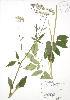 (Aegopodium - RBG 067)  @11 [ ] Copyright (2009) Unspecified University of Guelph BIO Herbarium