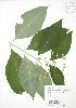 (Asclepias exaltata - RBG 079)  @13 [ ] Copyright (2009) Unspecified University of Guelph BIO Herbarium