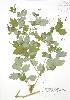 (Chelidonium - RBG 098)  @11 [ ] Copyright (2009) Unspecified University of Guelph BIO Herbarium