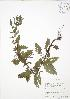 (Lycopus - RBG-Blitz 028)  @11 [ ] Copyright (2009) Unspecified University of Guelph BIO Herbarium