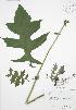 (Polymnia - RBG 121)  @11 [ ] Copyright (2009) Unspecified University of Guelph BIO Herbarium
