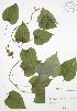 (Dioscorea quaternata - RBG 113)  @11 [ ] Copyright (2009) Unspecified University of Guelph BIO Herbarium