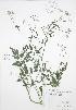 (Torilis - RBG 129)  @11 [ ] Copyright (2009) Unspecified University of Guelph BIO Herbarium