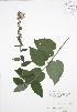 (Campanula - RBG-Blitz 050)  @11 [ ] Copyright (2009) Unspecified University of Guelph BIO Herbarium
