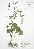 ( - RBG 037)  @11 [ ] Copyright (2009) Unspecified University of Guelph BIO Herbarium