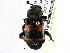 (Nicrophorus tomentosus - BIOUG08060-E12)  @15 [ ] CreativeCommons - Attribution Non-Commercial Share-Alike (2014) BIO Photography Group Biodiversity Institute of Ontario