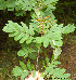  (Sorbus meinichii - Ringve20)  @11 [ ] CreativeCommons - Attribution Non-Commercial Share-Alike (2012) NTNU Museum of Natural History and Archaeology NTNU Museum of Natural History and Archaeology