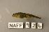 (Cottus leiopomus - NAFF 926)  @11 [ ] Unspecified (default): All Rights Reserved  Unspecified Unspecified