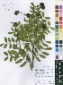 (Copaifera - Burrows13411)  @11 [ ] No Right Reserved  Unspecified Unspecified