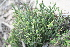  (Crassula ericoides - AM0283)  @11 [ ] CreativeCommons - Attribution Non-Commercial Share-Alike (2011) Maria (Masha) Kuzmina Canadian Center for DNA Barcoding