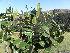 (Diospyros scabrida - Abbott9246)  @11 [ ] No Rights Reserved (2011) Olivier Maurin University of Johannesburg