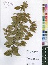 (Diospyros virgata - Burrows13373)  @11 [ ] No Right Reserved  Unspecified Unspecified