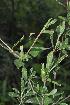 (Gardenia - Burrows13378)  @11 [ ] cc by-nc-sa (2013) John Burrows University of Johannesburg, African Centre for DNA Barcoding (ACDB)