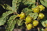 (Diospyros pseudomespilus subsp undabunda - Burrows13440)  @11 [ ] cc by-nc-sa (2014) John E. Burrows Buffelskloof Nature Reserve Herbarium (BNRH)