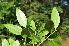 (Warneckea - Burrows13442)  @11 [ ] cc by-nc-sa (2014) John E. Burrows Buffelskloof Nature Reserve Herbarium (BNRH)