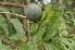 (Loganiaceae - Burrows13501)  @11 [ ] cc by-nc-sa (2014) John E. Burrows Buffelskloof Nature Reserve Herbarium (BNRH)