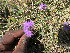 (Verbena aristigera - KMS-0004)  @11 [ ] No Rights Reserved  Unspecified Unspecified