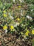 (Senecio consanguineus - KMS-0055)  @11 [ ] No Rights Reserved  Unspecified Unspecified