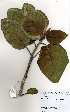 (Ficus trichopoda - OM3674)  @11 [ ] No Rights Reserved  Unspecified Unspecified