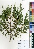 (Juniperus procera - OM3891)  @11 [ ] No Right Reserved  Unspecified Unspecified