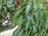 (Cinnamomum camphoratum - PPRI-0094)  @11 [ ] No Rights Reserved  Unspecified Unspecified