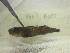 (Bathygobius niger - GG07-A085)  @11 [ ] CreativeCommons - Attribution Non-Commercial Share-Alike (2013) SAIAB SAIAB