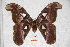  (Attacus erebus - BC-RBP-0566)  @14 [ ] Copyright (2010) Unspecified Research Collection of Ron Brechlin