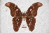  (Attacus lorquinii - BC-RBP-0581)  @14 [ ] Copyright (2010) Unspecified Research Collection of Ron Brechlin