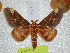 (Citheronia beledonon - BC-HKT 0139)  @15 [ ] Copyright (2012) Ron Brechlin Research Collection of Ron Brechlin