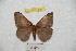 (Hemileuca rubridorsa - BC-RBP 8537)  @11 [ ] copyright (2014) Ron Brechlin Research Collection of Ron Brechlin
