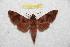 (Acosmeryx anceus philippinensis - BC-RBP 7584)  @12 [ ] Copyright (2013) Ron Brechlin coll. Ron Brechlin, Pasewalk