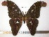  (Attacus caesar - barcode SNB 3658)  @15 [ ] Copyright (2012) Stefan Naumann Research Collection of Stefan Naumann