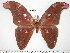  (Attacus paraliae - barcode SNB 3784)  @14 [ ] Copyright (2012) Stefan Naumann Research Collection of Stefan Naumann