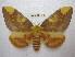 (Citheronia lobesis - BC-EvS 1815)  @15 [ ] Copyright (2010) Eric Van Schayck Research Collection of Eric Van Schayck