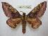 (Citheronia phoronea - BC-EvS 1827)  @15 [ ] Copyright (2010) Eric Van Schayck Research Collection of Eric Van Schayck