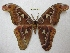  (Attacus doherty - BC-EvS 2543)  @15 [ ] Copyright (2012) Eric van Schayck Unspecified