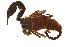 (Hemiscorpiidae - BIOUG00162-H11)  @11 [ ] Copyright  G. Blagoev 2010 Unspecified