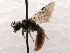 (Sphecodes SanDiego Sp.1 - KJH.1417)  @14 [ ] Unspecified (default): All Rights Reserved  Unspecified Unspecified