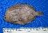 (Ancylopsetta dendritica - SEMAR-027)  @11 [ ] Copyright (2010) A. Orozco 2010 Unspecified
