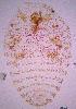 (Dactylopius - ARC-PPRI SB298_4)  @13 [ ] CreativeCommons - Attribution Non-Commercial Share-Alike (2011) Mamadi Theresa Sethusa ARC-PPRI