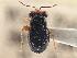 (Isthmocoris - CCDB-21316-B11)  @11 [ ] CreativeCommons - Attribution Non-Commercial Share-Alike (2013) BIO Photography Group Biodiversity Institute of Ontario