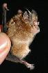 (Rhinolophidae - ZMMU SVK 13-047)  @15 [ ] Copyright (2013) Sergei Kruskop Zoological Museum of Moscow University
