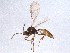(Diaeretellus - BIOUG05654-B08)  @11 [ ] CreativeCommons - Attribution Non-Commercial Share-Alike (2012) BIO Photography Group Biodiversity Institute of Ontario