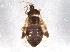 (Lyctocoridae - BIOUG08564-B03)  @14 [ ] CreativeCommons - Attribution Non-Commercial Share-Alike (2013) BIO Photography Group Biodiversity Institute of Ontario