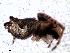(Nicolepeira - MAI 4122-1344)  @11 [ ] CreativeCommons – Attribution Non-Commercial Share-Alike (2013) Matías A. Izquierdo Museo Argentino de Ciencias Naturales