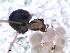 (Pholcidae_IM - MAI 4130-1352)  @11 [ ] CreativeCommons – Attribution Non-Commercial Share-Alike (2013) Matías A. Izquierdo Museo Argentino de Ciencias Naturales