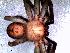 (Polybetes - MAI 4170-1519)  @11 [ ] CreativeCommons – Attribution Non-Commercial Share-Alike (2013) Matías A. Izquierdo Museo Argentino de Ciencias Naturales